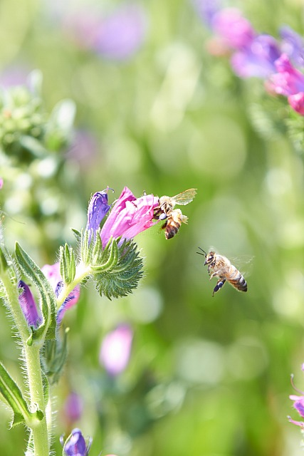 Bees_and_blossom_9343