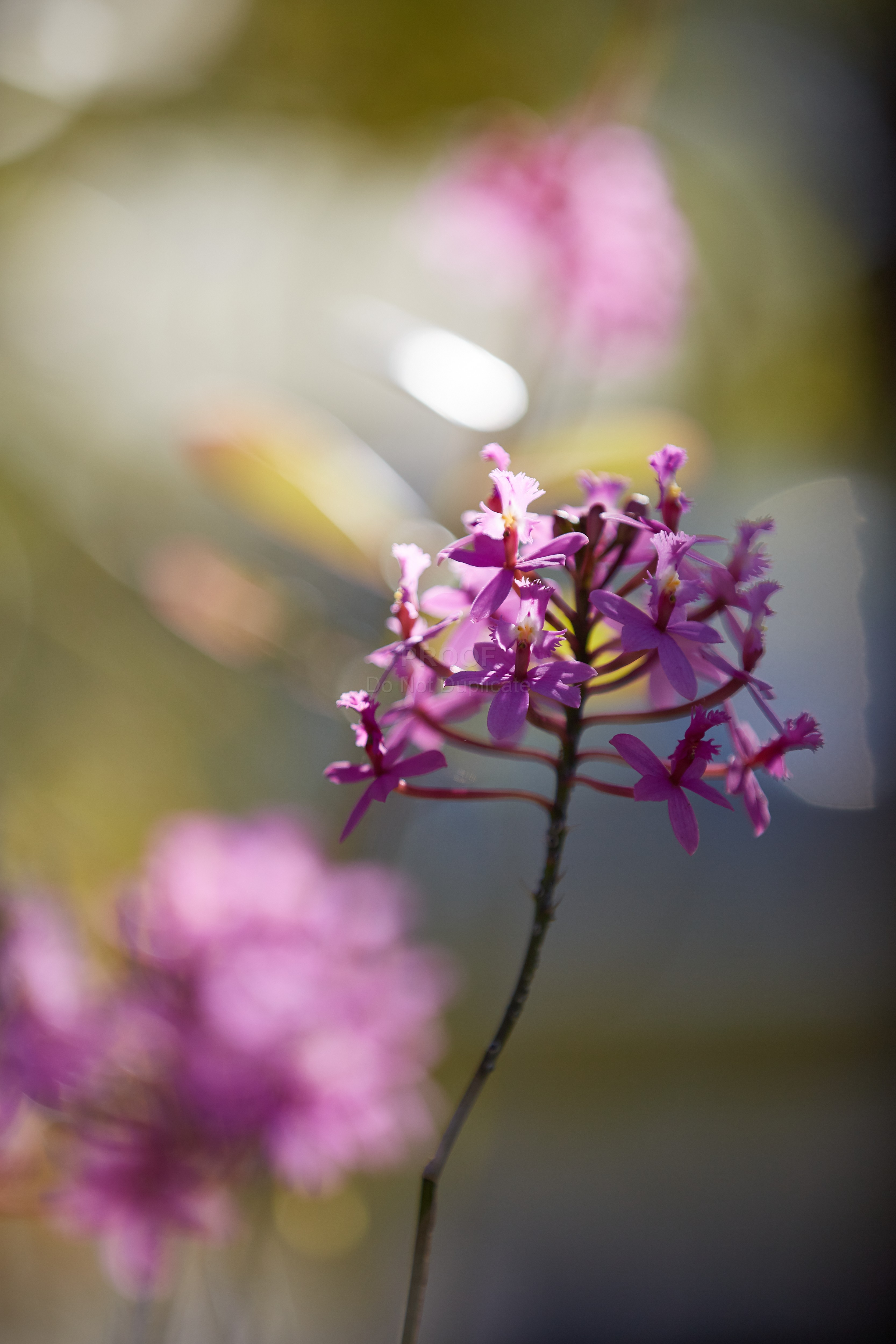 Orchid_12374