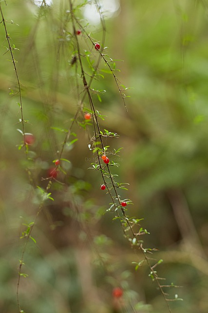 Leaves_and_berries_4535