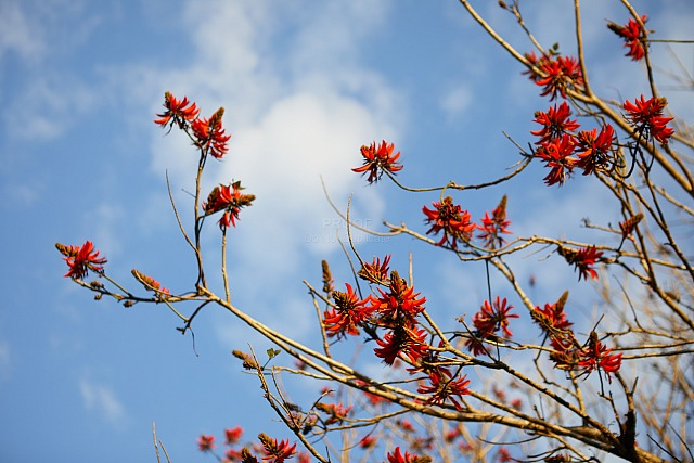 Coral_tree_2590