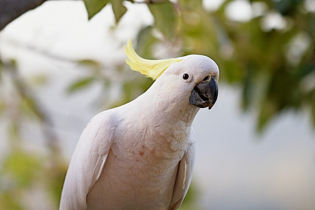 Cockatoo_5136