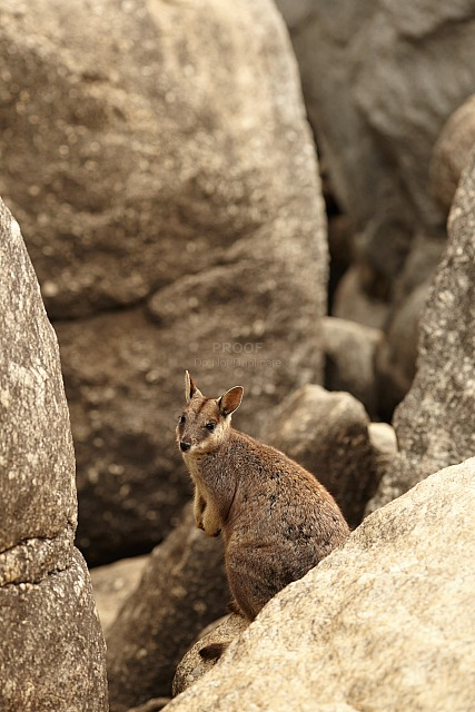 Rock_wallaby_6990