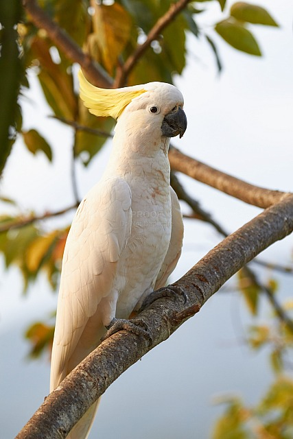 Cockatoo_5097