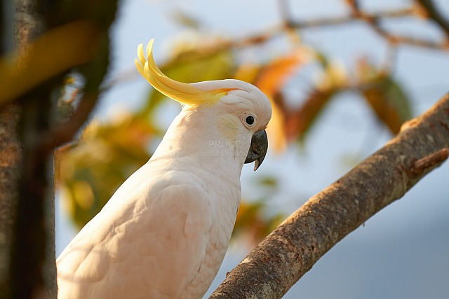 Cockatoo_5116