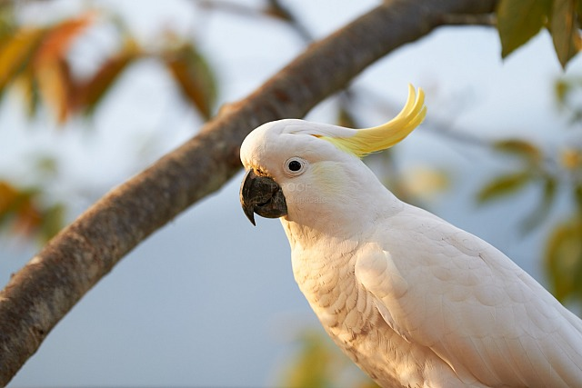 Cockatoo_5110